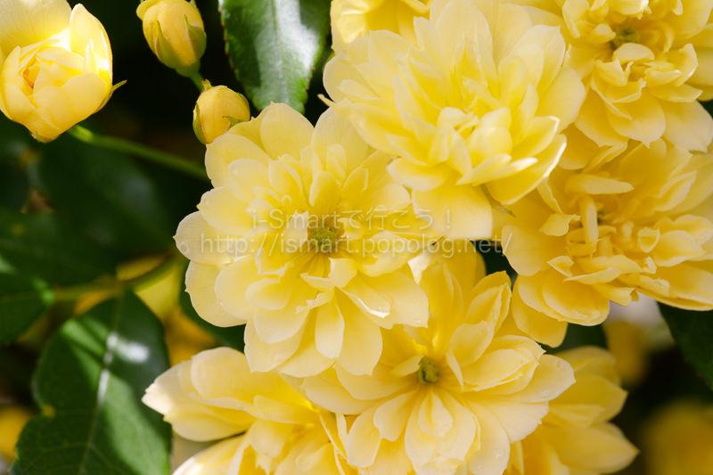 木香薔薇の花