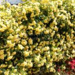 満開の木香薔薇の垣根