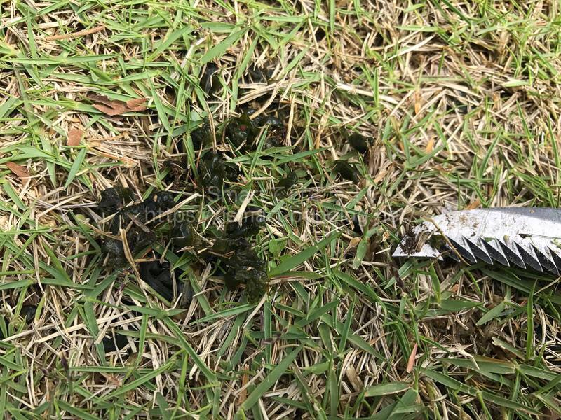 芝生に発生したイシクラゲ